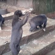 Видео кое ќе ви го скрши срцето: Погледнете што прават овој вид мечки во зоолошката градина во Индонезија