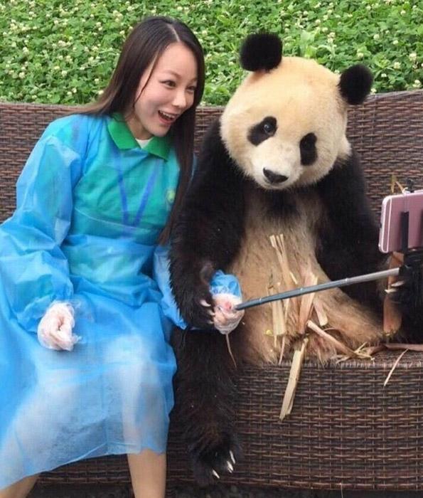 Навистина неодоливо: Џиновска панда која знае како да направи селфи