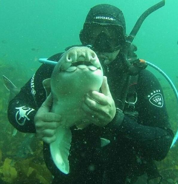 Необично 7-годишно пријателство: Ајкула доаѓа да си игра со овој нуркач секогаш кога ќе го види