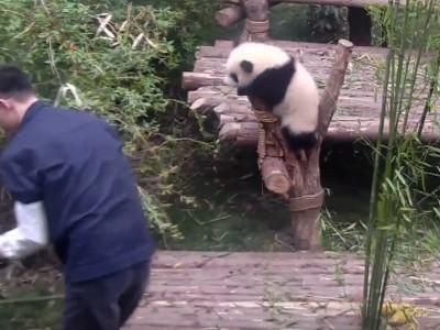 Оваа неодолива панда е подготвена да направи сѐ за да добие прегратка од нејзиниот зафатен чувар!