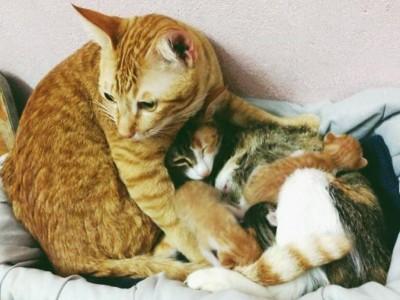 Овој мачор кој станал татко ќе ви го освои срцето со неговата грижа за штотуку породената мачка