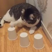 Брилијантна мачка секогаш успева да го најде топчето под чашката