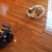 Најмрзливата мачка на светот ужива во возењето низ домот
