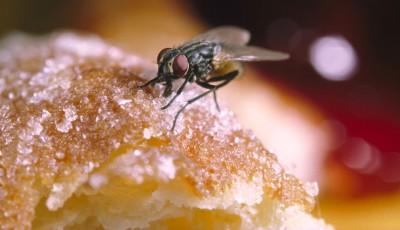 Научниците предупредуваат: Никогаш не смеете да ја јадете храната на која застанала мува!