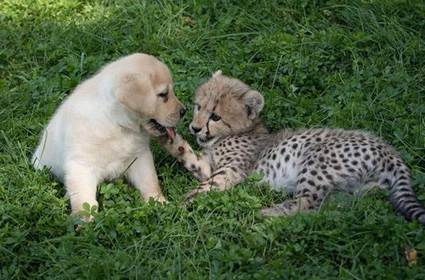 Необично пријателство: Срамежливи гепарди стануваат пријатели со слатки кучиња