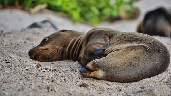 Преслатки морски лавови кои се однесуваат како питоми домашни миленици