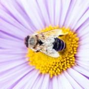 Ако постојано сте болни, побарајте спас во поленот од пчелите