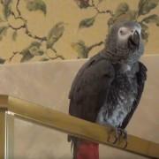 histerichen-papagal-ne-mozhe-da-prestane-da-se-smee
