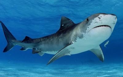 10 најчудни работи што биле најдени во стомаци на ајкули
