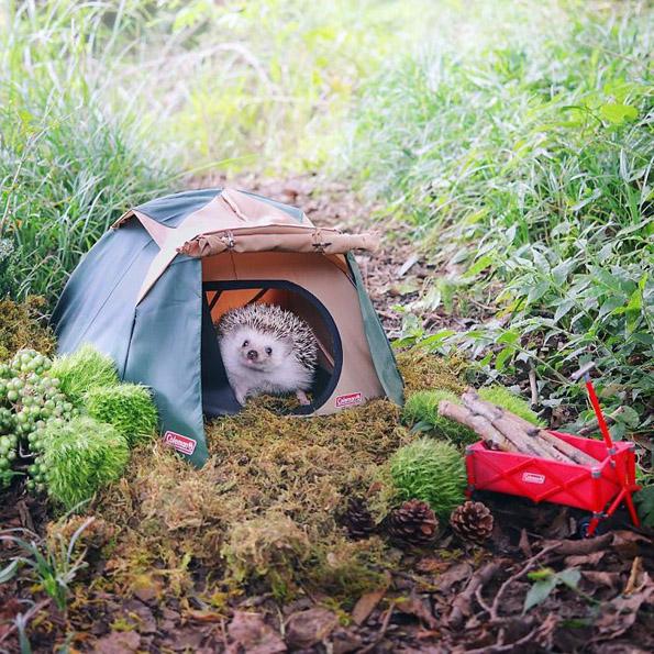 Фотографиите од ова еже кое отишло на кампување ќе ви го направат денот!