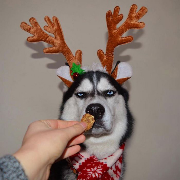 Погледнете ја оваа намуртена хаска на која воопшто не ѝ е дојдено до божиќна фотосесија